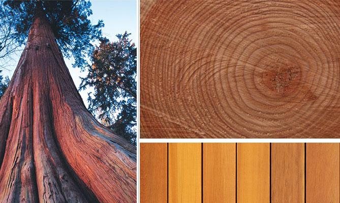 Кедр: дерево, спил, доски