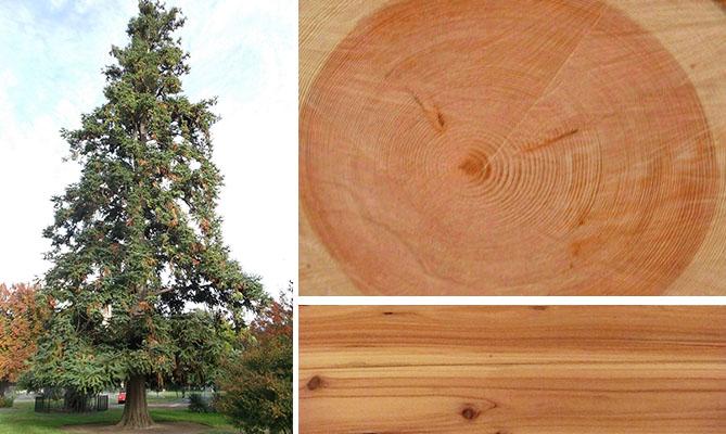 Куннингамия: дерево, спил, доски