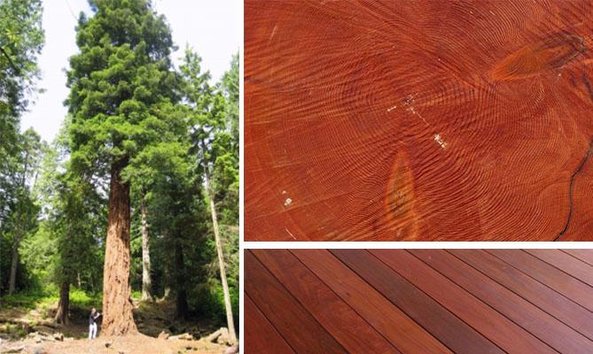 секвойя: дерево, спил, доски