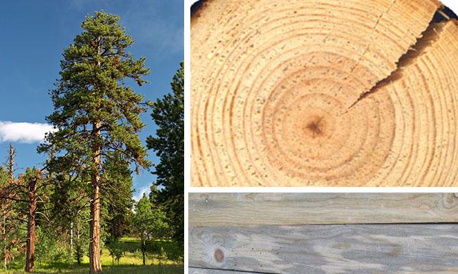 Сосна: дерево, спил, доски